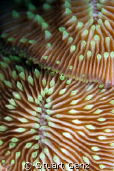 Mushroom Coral. I found these two lieing togeather with t... by Stuart Ganz 
